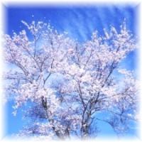 cherryblossomsharu.jpg
