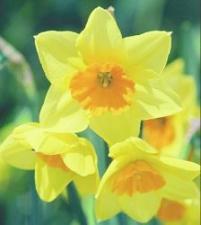 daffodil2004.jpg